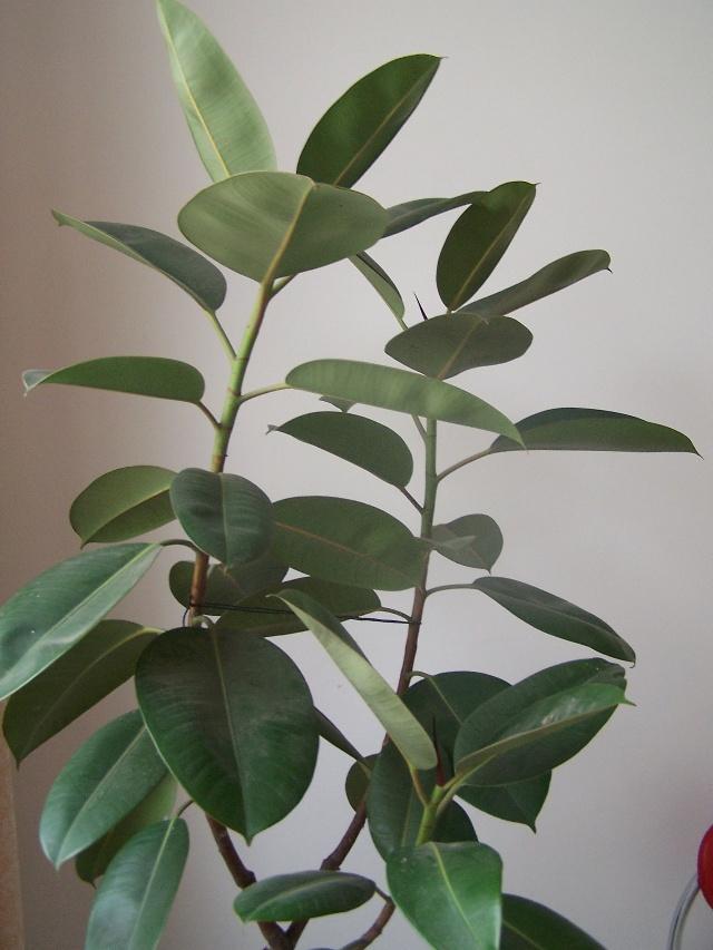 橡皮树:扦插繁殖比较简单