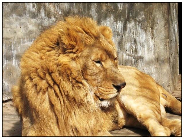 壁纸 动物 猫科 狮子 桌面 640_484