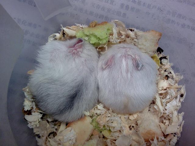 [小仓鼠日记]伙伴俩·新房子
