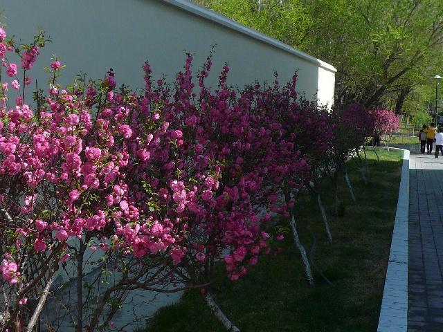 榆叶花图片