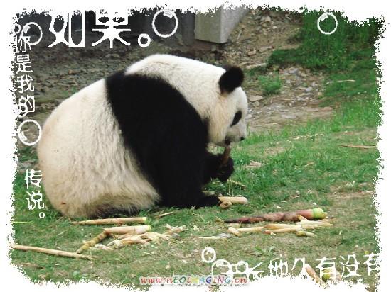 可爱熊猫爬竹子