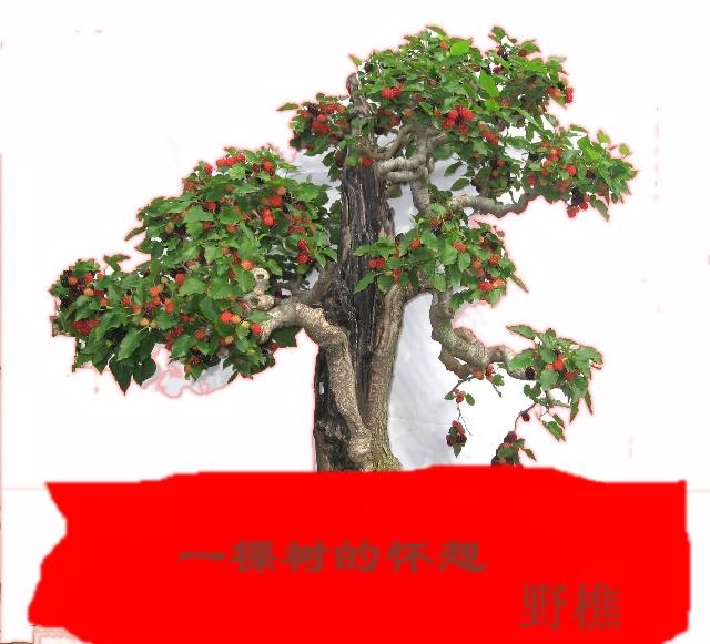 小桑树盆景图片
