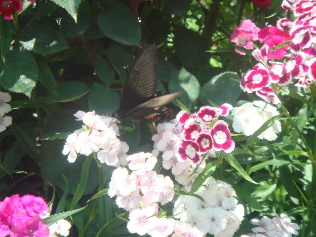 八月蝴蝶黄,双飞西园草.(李白)