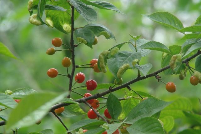 看看这樱桃树的叶子上爬的是什么?图片