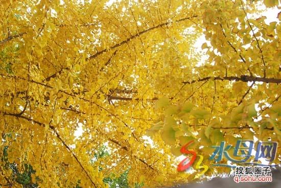 【为你读书】牛长伟:银杏树下的年华
