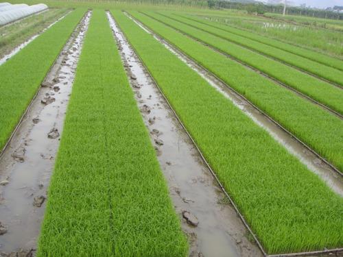 幼儿水稻简笔画