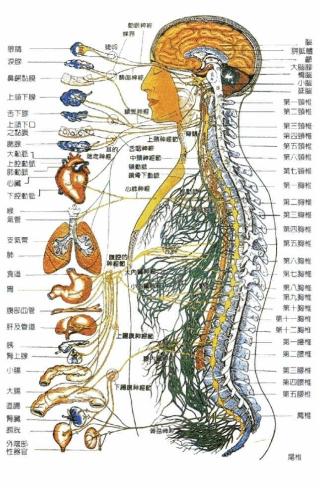 大腿神经分布图_腿部神经分布图