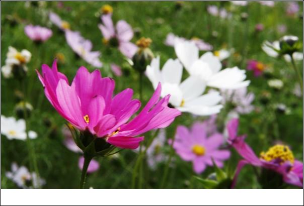 以前在柳树湾面对遍地的波斯花,在拍美女的间隙也拍了一些花花朵朵