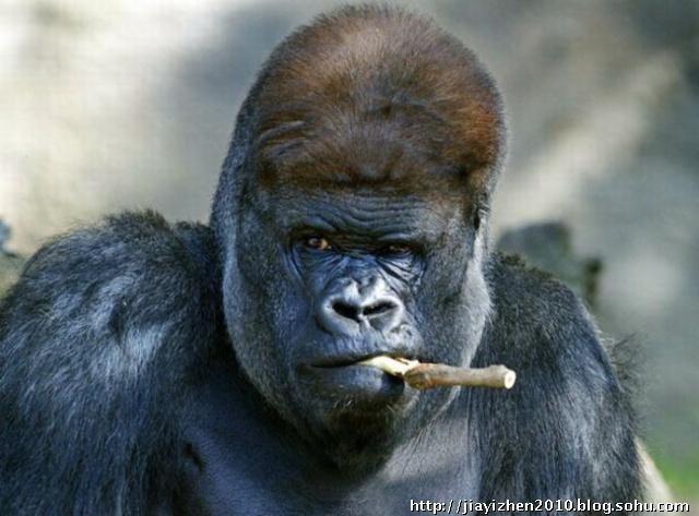 银背大猩猩科巴布嚼起了树枝
